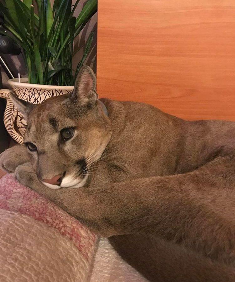 «лазуритовая кошка горизонта»: особенности абиссинской породы