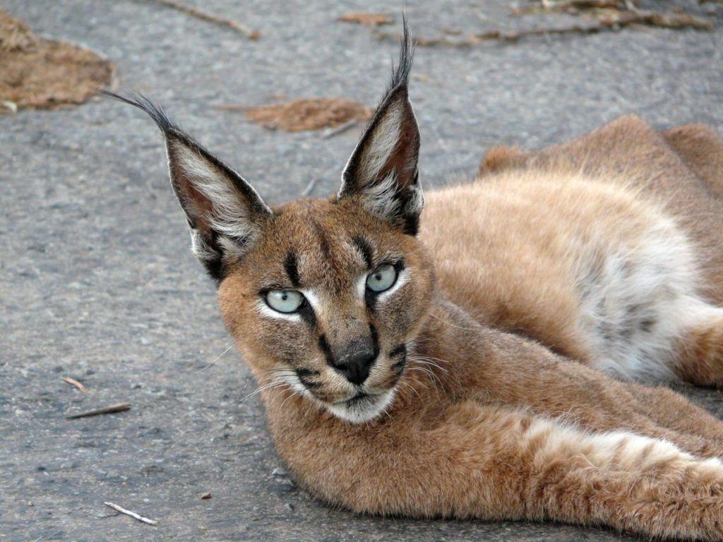Кошка похожая на рысь: примеры основных пород