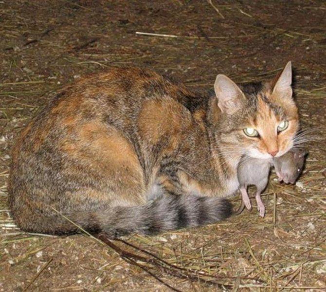 Какая порода кошек лучше всех ловит крыс: охотники-коты для ловли мышей