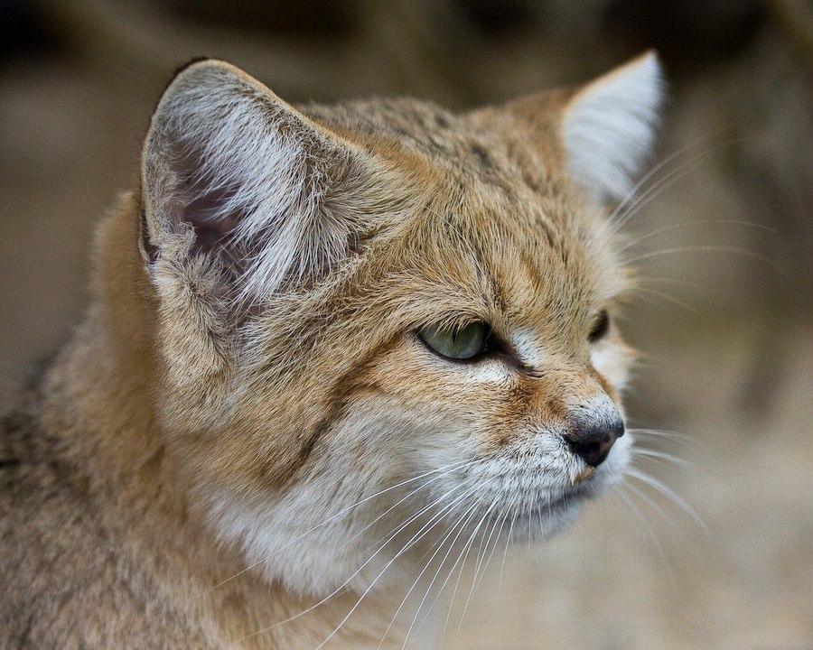 Барханный кот (песчаный): ареал обитания и образ жизни дикой кошки, характер и повадки, содержание в неволе