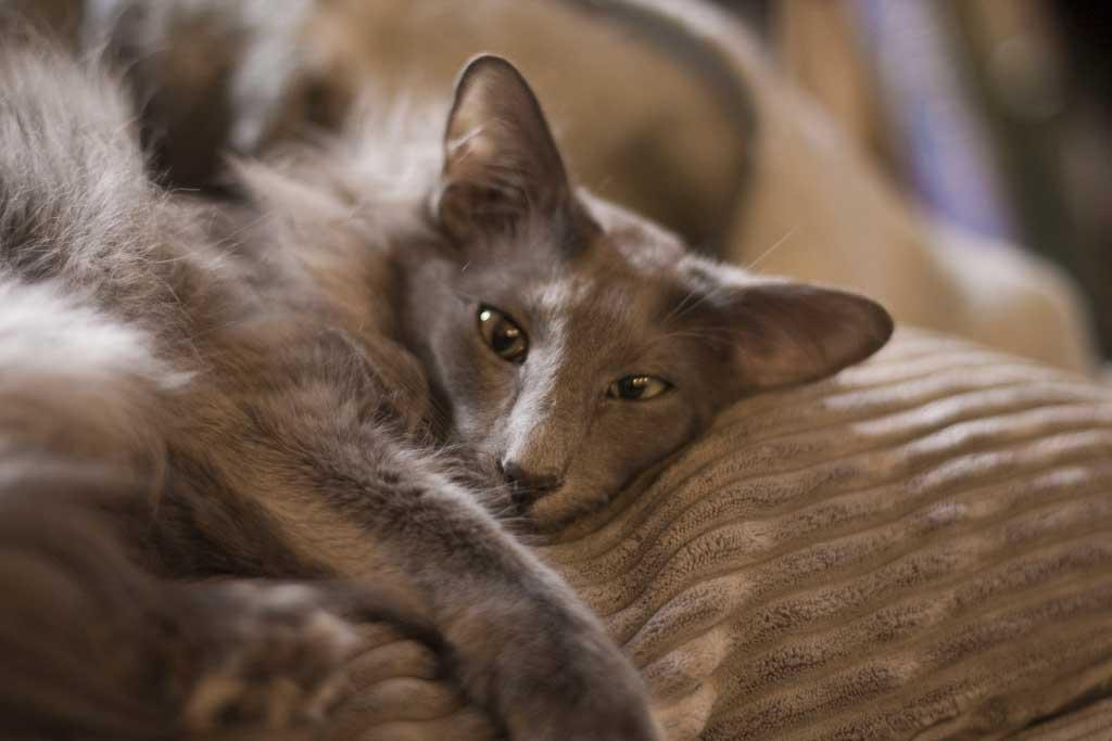 Леди совершенство яванская кошка или яванез
