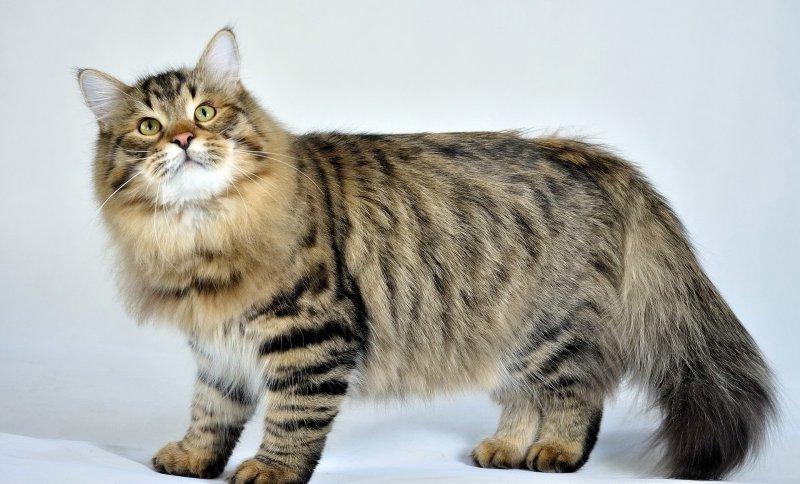 Все породы кошек (67 шт.) с фотографиями и названиями и описанием пород