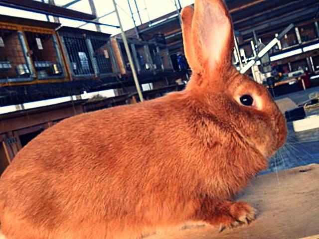 Бургундский кролик: описание породы и характеристика