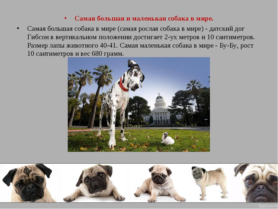 Самая большая собака в мире: самые высокие в холке собаки и самые крупные породы собак