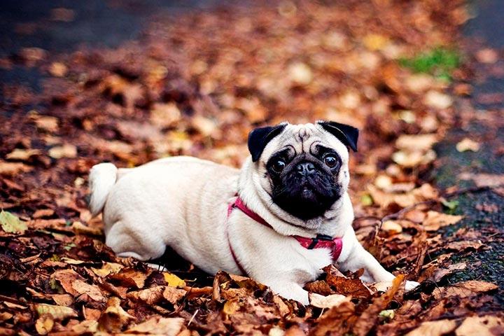 Мини-мопсы: чем отличаются эти маленькие собачки от классических, как они выглядят и какой требуют уход + фото и видео