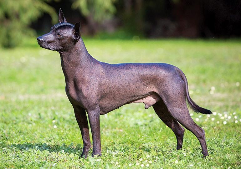 Ксолоитцкуинтли(мексиканская лысая собака) фото, цена щенка, описание породы, отзывы