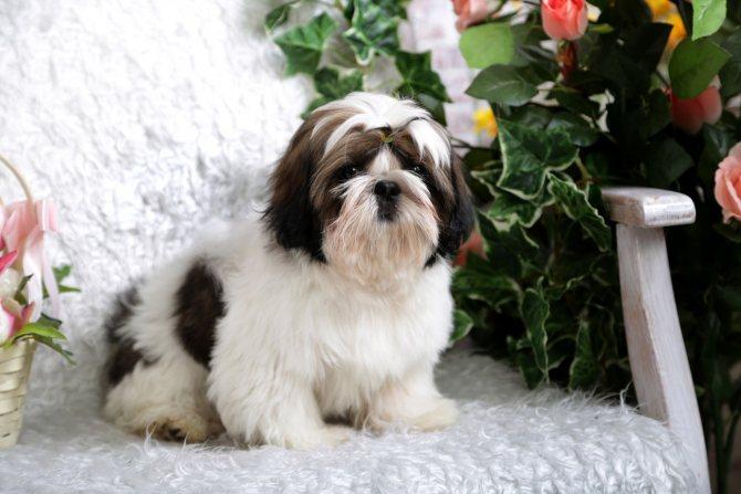 Ши тцу собака. описание, особенности, уход и цена ши тцу   sobakagav.ru