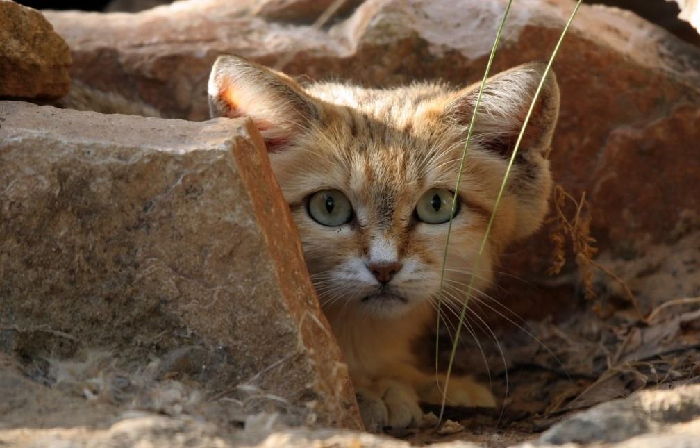 Дикий барханный (пустынный) кот или арабская песчаная кошка — фото, описание, содержание в домашних условиях