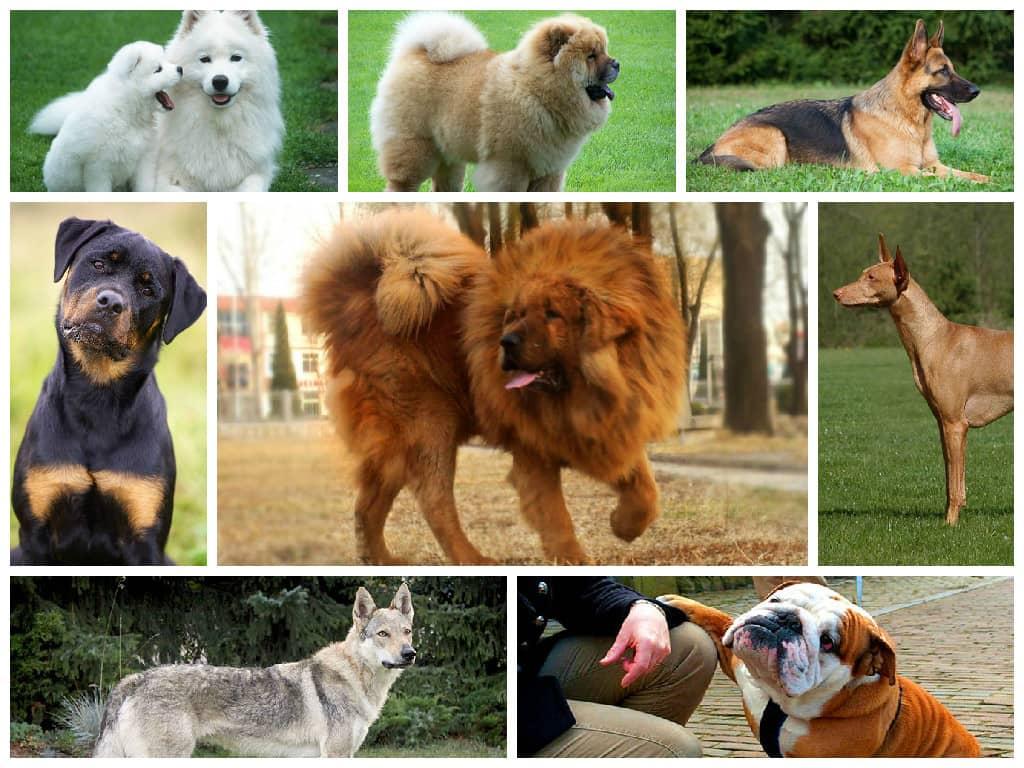 Топ-10 самых дешевых пород собак – их цены и особенности