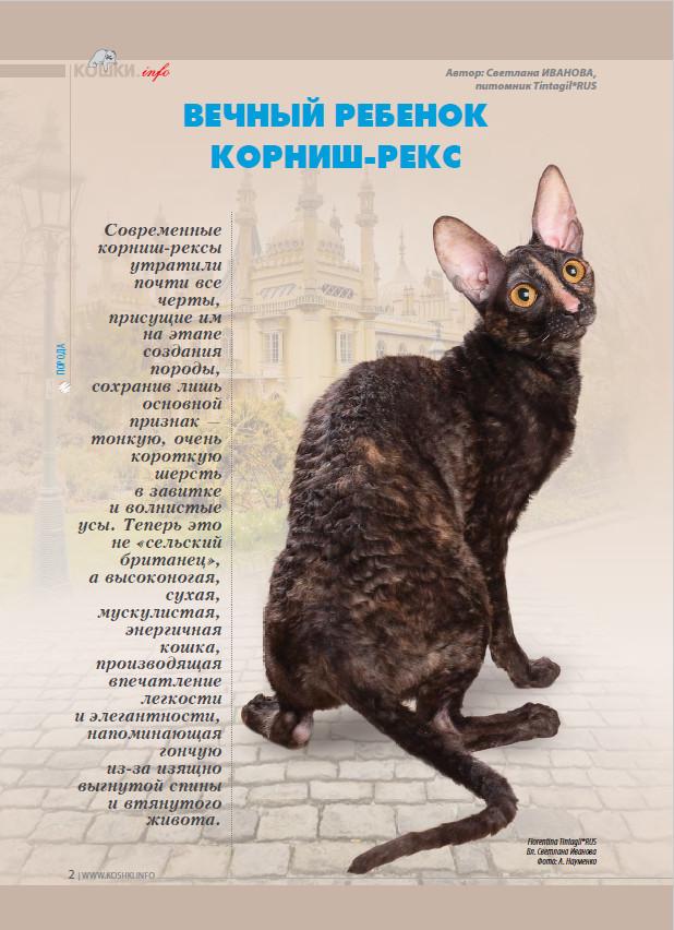 Kорниш-рекс - порода кошек - информация и особенностях   хиллс