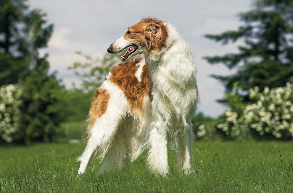 Описание породы русская псовая борзая, история появления и характеристики, особенности ухода и выбора щенков