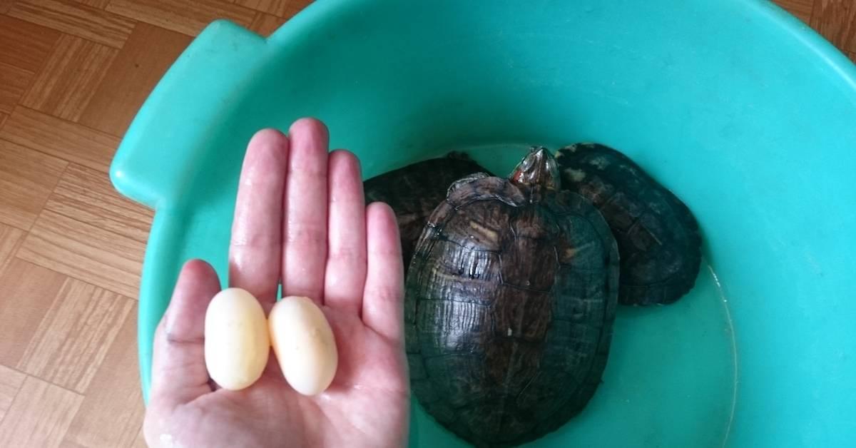 Инкубация яиц черепах