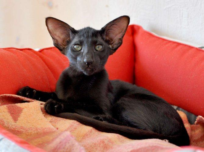 Ориентальная кошка(ориентал) фото, цена котят, описание породы, отзывы