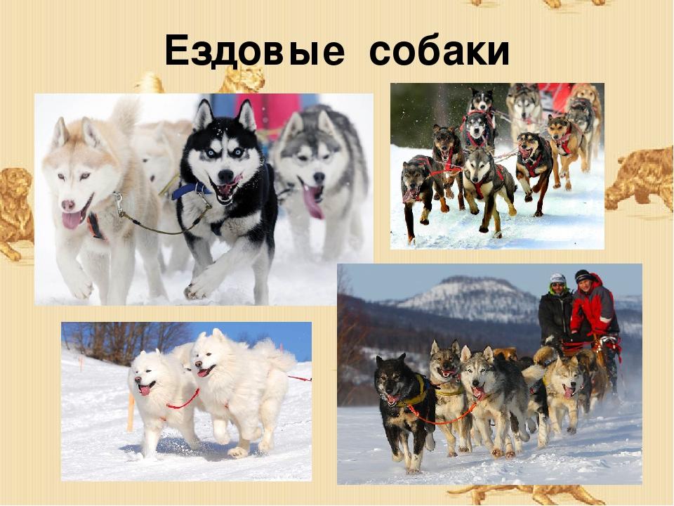 Ездовые собаки: описание пород, взаимотношения с человеком