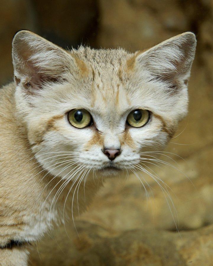Барханный кот – фото, описание, ареал, питание, размножение