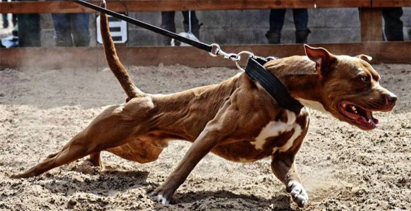 Сила укуса собак разных пород таблица. у какой собаки самые сильные челюсти? самые сильные челюсти у собак. топ пород