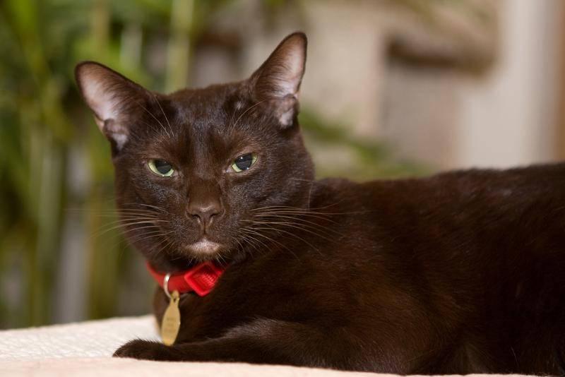 Кошка гавана браун (100 фото): цена, описание породы, характер, окрас, содержание, уход и много других интересных фактов о кошке породы гавана смотрите в статье!