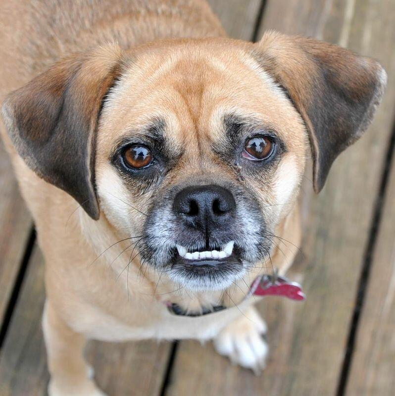 Пагль: стандарт необычной породы, описание внешнего вида и характера собаки, уход, фото