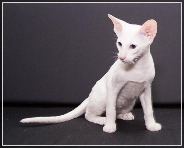 Форин вайт — описание породы и характер кошки