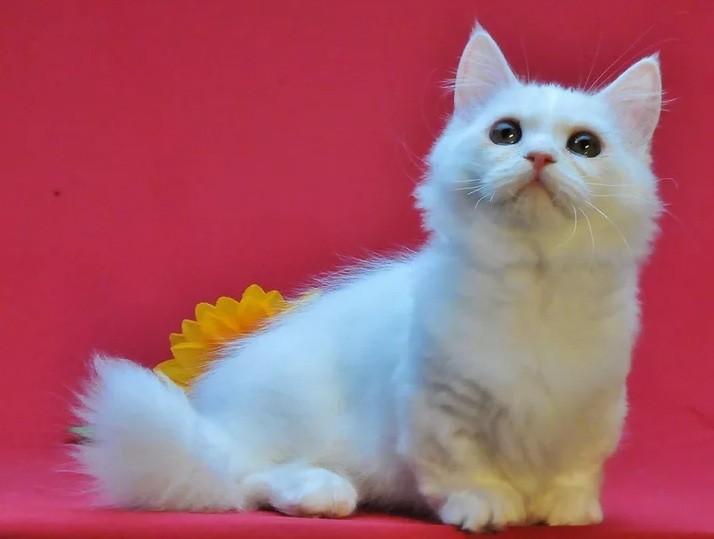 Наполеон: уникальная порода карликовых домашних котов