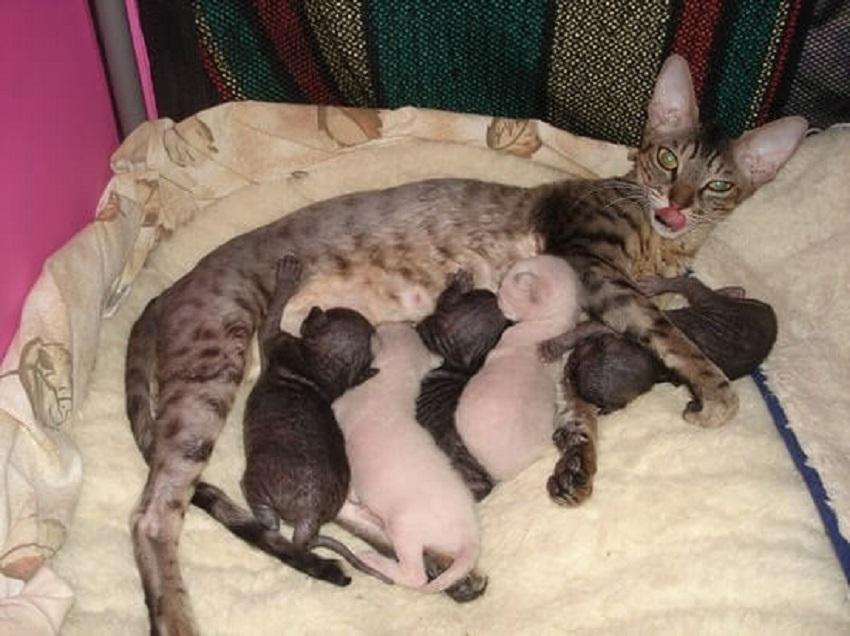 Сколько кошка вынашивает котят: примеры по времени и в первый раз