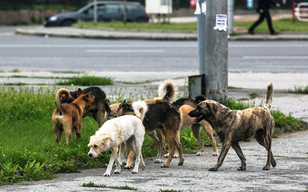 Собачий закон: почему государство не защищает россиян от бродячих псов | статьи | известия