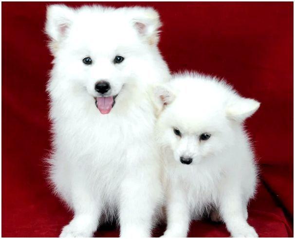 Помски: цена и фото породы, где купить щенка, описание и характер