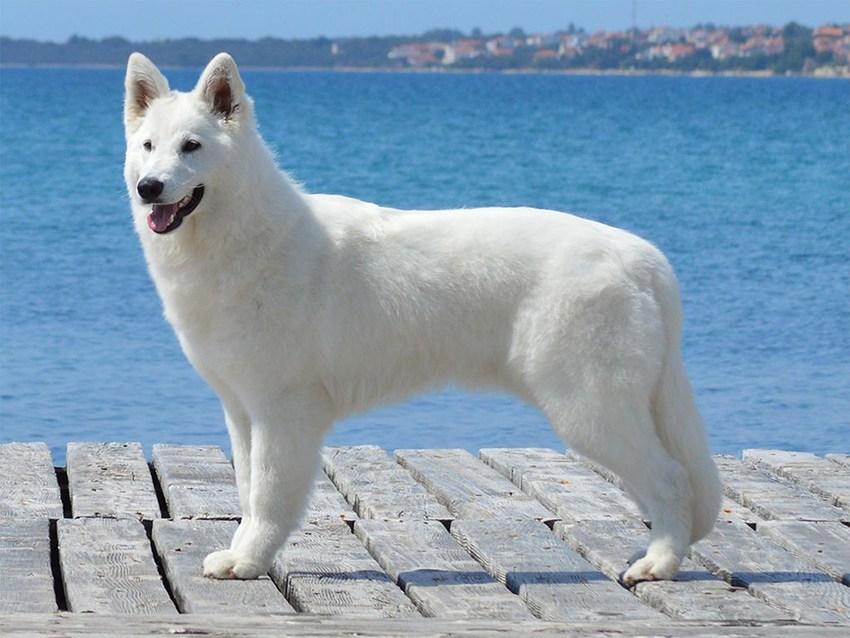 Белая швейцарская овчарка — тонкости содержания и особенности характера собаки узнайте в статье с фото новинками!