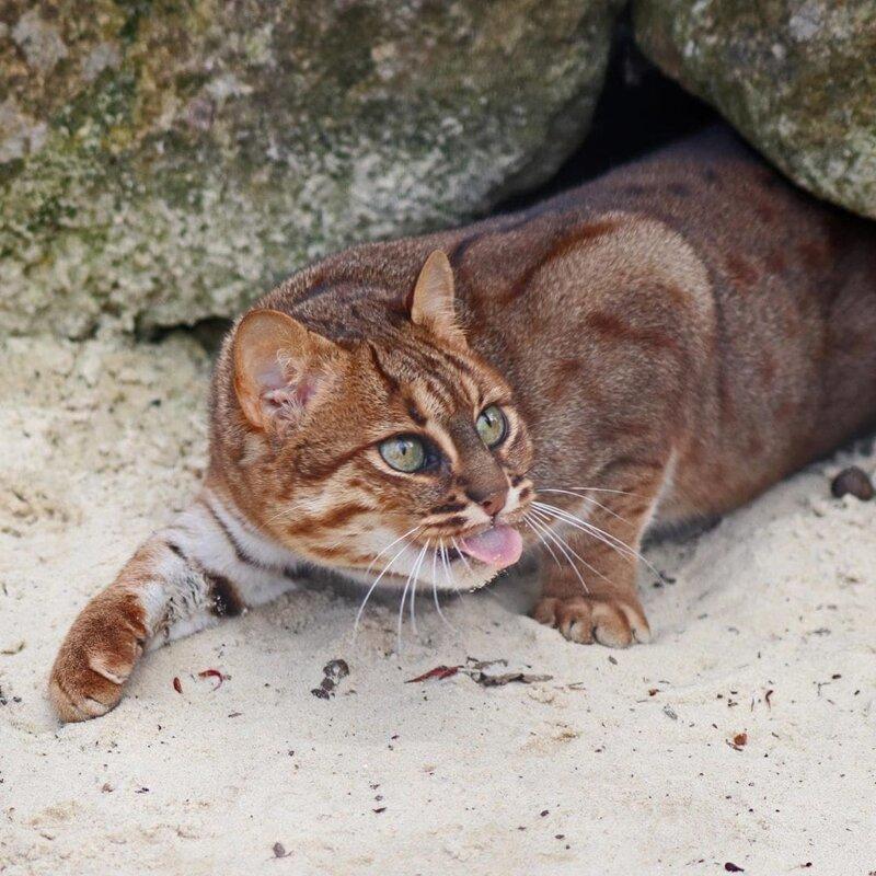 Ржавая (пятнисто-рыжая) кошка: фото, описание, размер, образ жизни