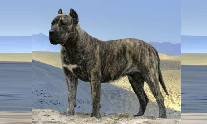 Идеальная охотничья и охранная собака – аргентинский дог