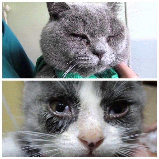 Почему у кошки (кота) гноятся глаза? как это вылечить?