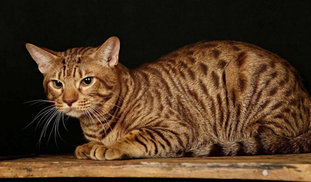 Оцикет: топ-100 фото, описание внешности и уход за породой кошек, заболевания, интересные факты