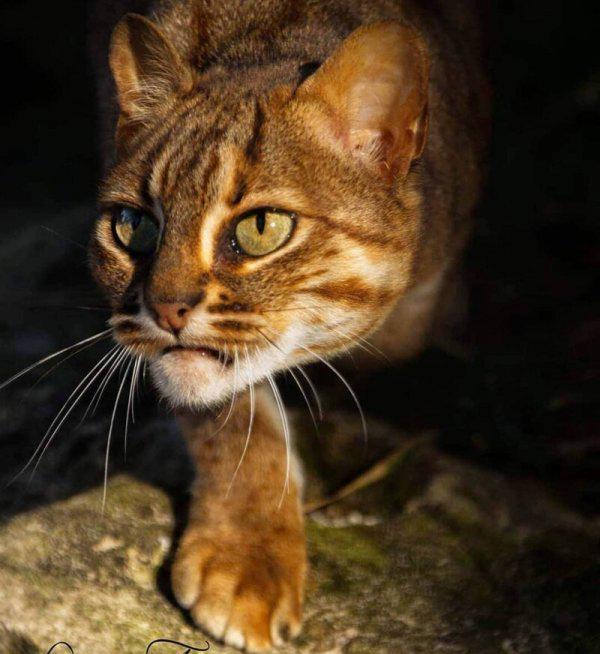 Чем так покоряет людей маленькая дикая ржавая кошка - мир кошек