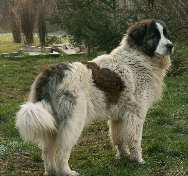 Английский мастиф (135 фото): характер и описание собаки, факты, цена щенка, уход, описание породы от а до я