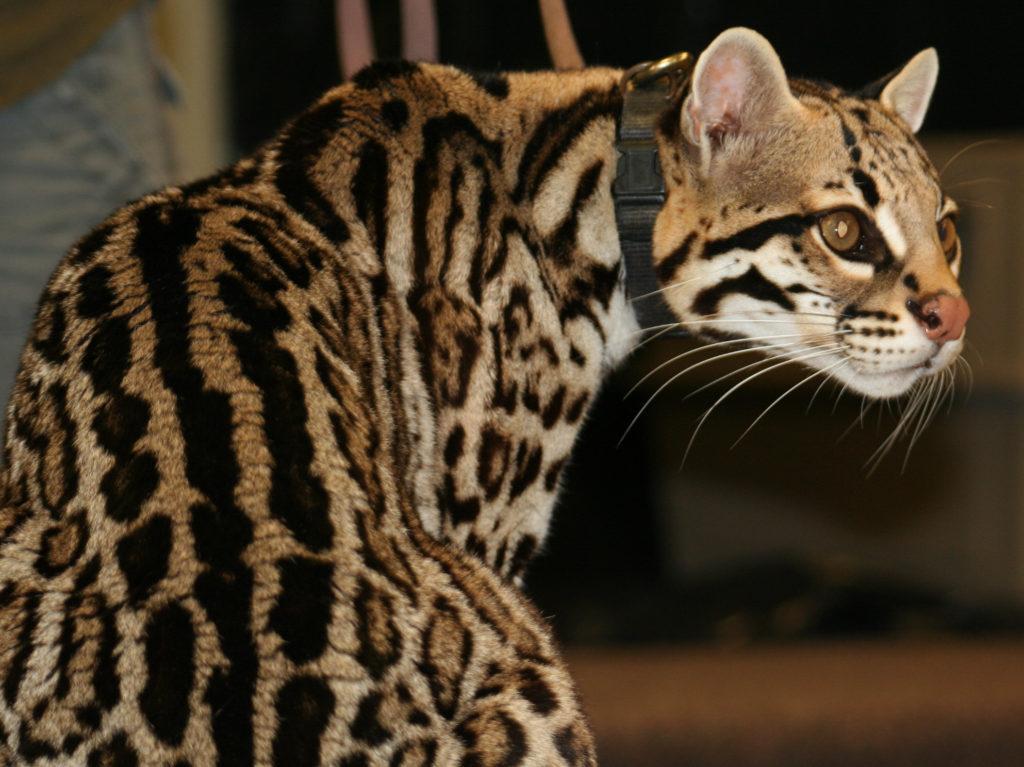 Азиатская короткошерстная кошка — история породы, фото, характер, содержание и уход, выбор котенка, видеоотчет о породе, выбор имени для котенка, кормление, здоровье, цена на котят на 2021 год, станда