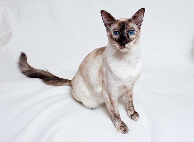 Балинезийская кошка: описание породы, внешний вид, характер, окрас, уход, кормление, плюсы и минусы