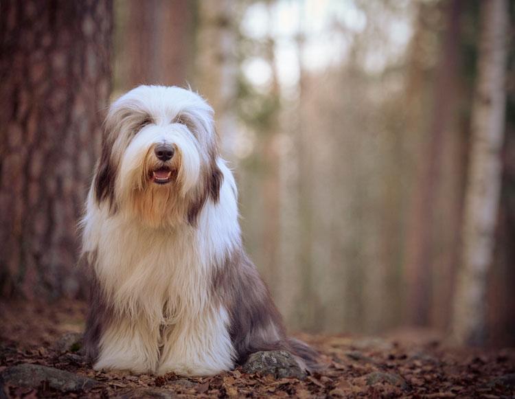 Бордер-колли - описание, фото породы, питание, уход и дрессировка, история, характер собаки   for-pet