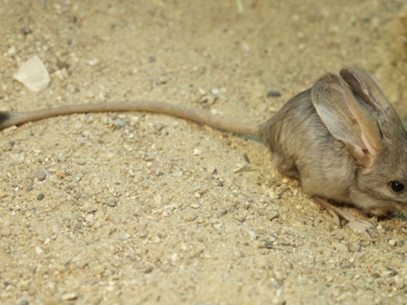 Житель пустыни тушканчик: фото, картинки и описание зверька
