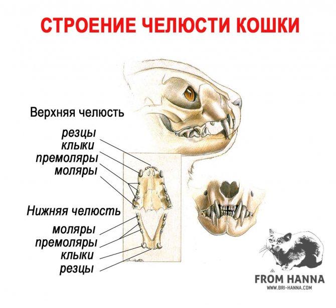 Сколько зубов должно быть у взрослой кошки: фото, схема и строение кошачьих зубных единиц