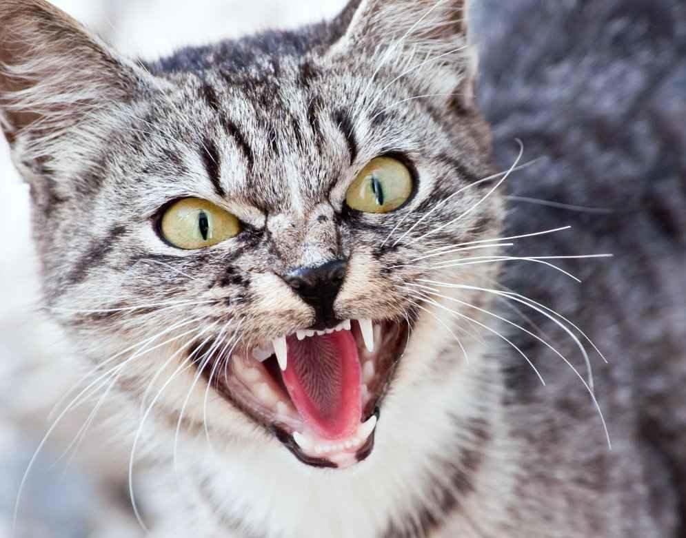 Разберем почему кошка шипит на человека без причины