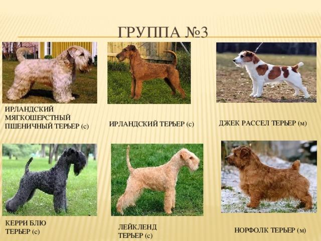Терьеры (83 фото): маленькие, средние и большие породы собак с названиями, содержание щенков и уход за ними. советы по выбору породы терьера