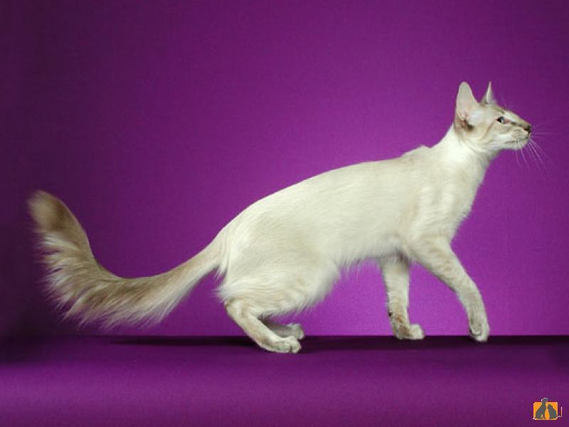 Яванская кошка (яванез): 11 фото, описание внешнего вида и характера породы