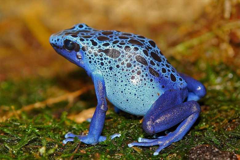 Факты о золотой жабе для детей. неизвестные факты о золотых жабах