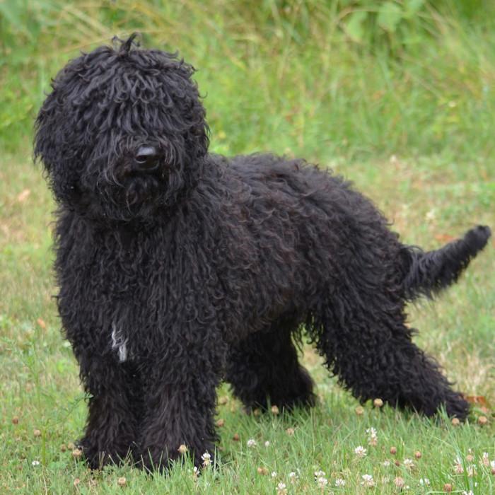 Барбет: забавная и добродушная собака