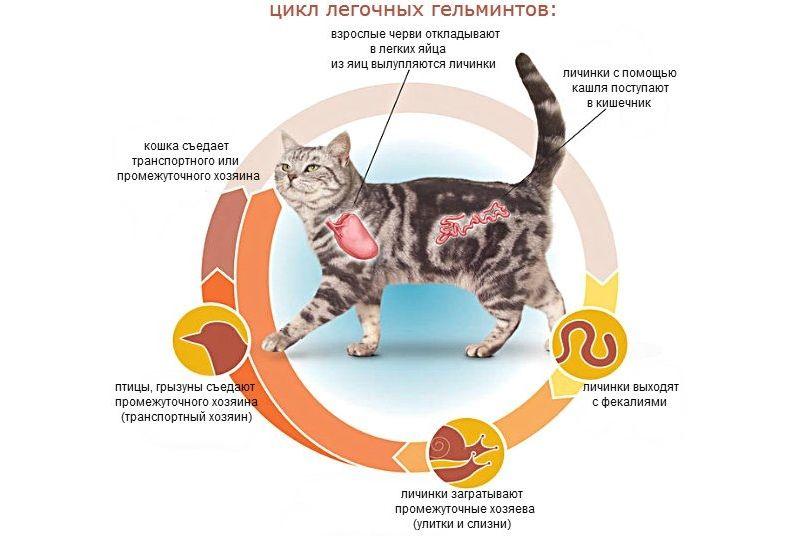 Облысение у кошки: причины и лечение