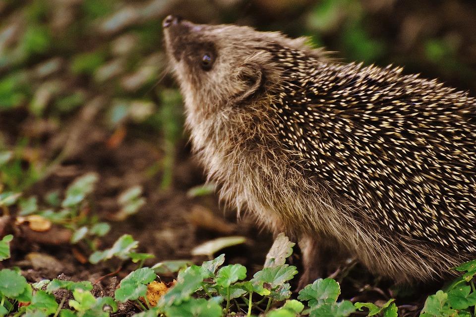 Еж европейский, или еж обыкновенный | мир животных и растений