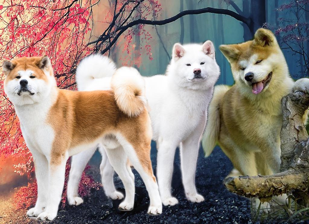 Акита ину порода собак. описание, особенности, характер, уход и цена