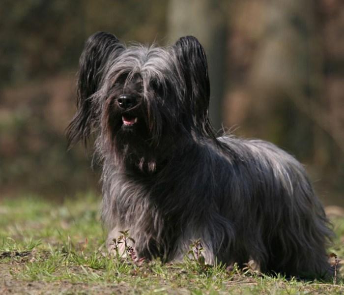 Скай терьер: стандарт шотландца и особенности, щенок скай (фото)