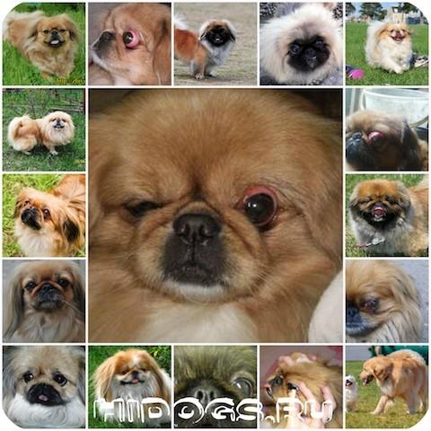 7 пород собак с выпученными глазами - причины, лечение