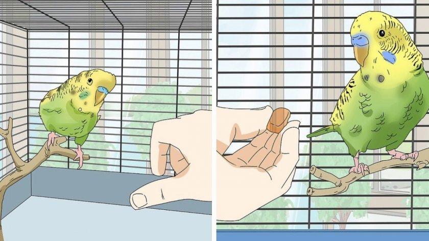 Самый легкий способкак приручить попугая волнистого к рукам